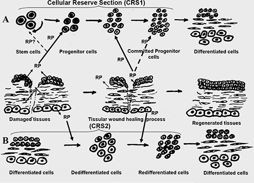 bell stem cell activator side effects